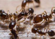 از بین بردن مورچه با روش های خانگی