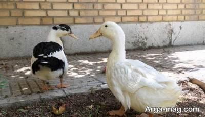 آشنایی با خواص تخم اردک