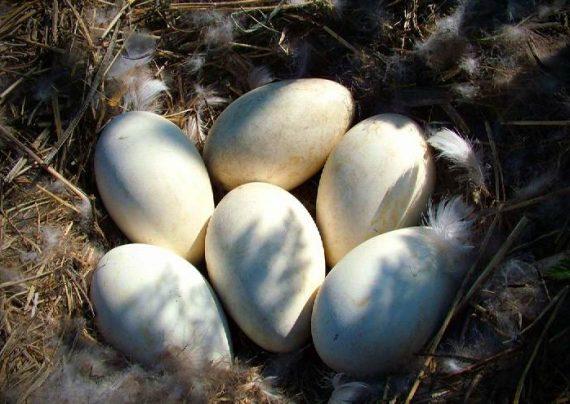 خواص متعدد تخم اردک