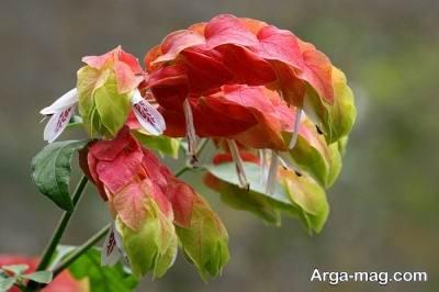 پرورش گل زیبای مشعلی