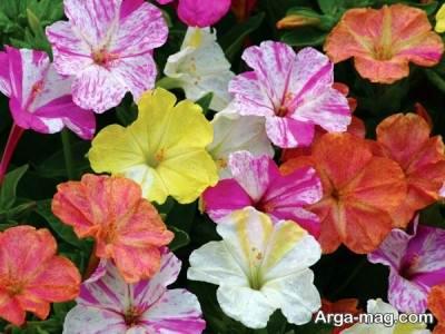 گل لاله عباسی در رنگ های مختلف