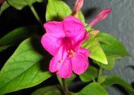 چگونگی کاشت و تکثیر گل لاله عباسی