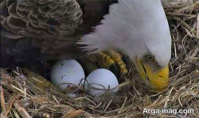 شاهین به مدت چند روز روی تخم ها می خوابد