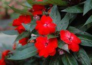 نکاتی در مورد نگهداری گل امپیشن