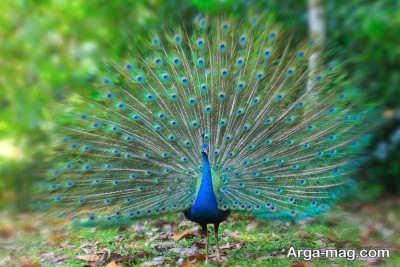 پرنده طاووس