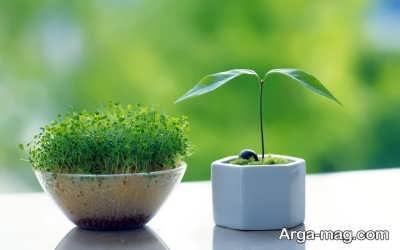 کاشت سبزه برای عید نوروز