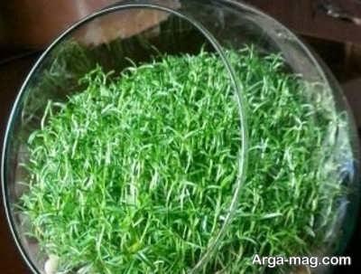 سبزه گندم روی تنگ ماهی راهنمای کاشت سبزه عید نوروز برای ۵ بذر متفاوت