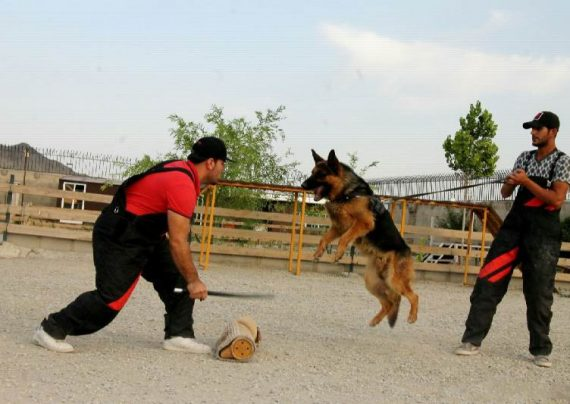 نحوه تربیت سگ نگهبان
