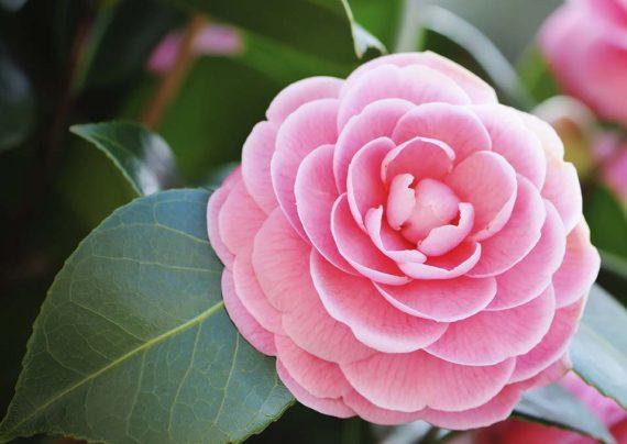 نحوه نگهداری از گل کاملیا