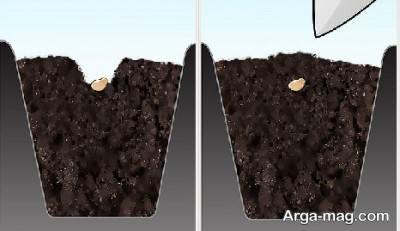 کاشت فلفل سیاه از طریق بذر