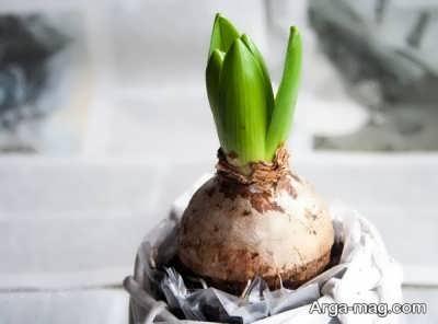 کاشت گل سنبل برای عید