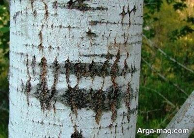 کاشت و پرورش درخت سپیدار