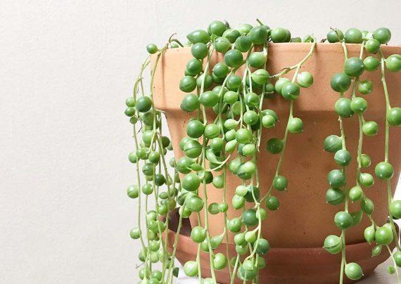 چگونگی پرورش گل سنسیو