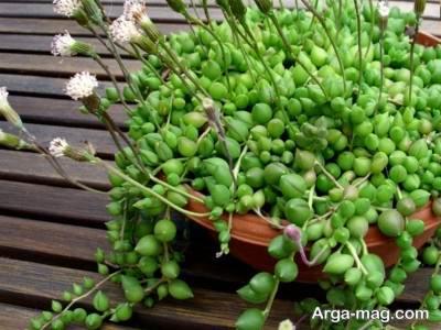 گاشت و پرورش گل سنسیو