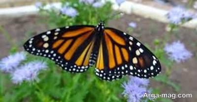 زندگی پروانه