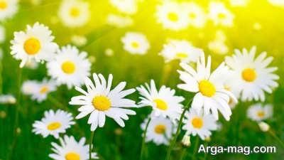 دیدن گل سفید در عالم رویا
