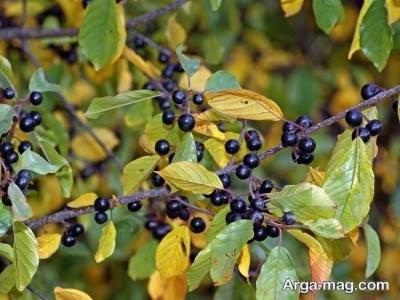 میوه های گیاه توسه سیاه