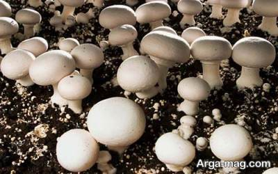 نحوه کاشت و پرورش قارچ دکمه ای