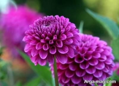 انواع رنگ های مختلف گل کوکب