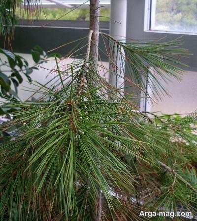 درخت چلغوز و نحوه پرورش آن