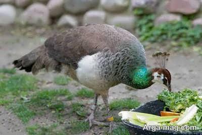 پرنده طاووس زیبا