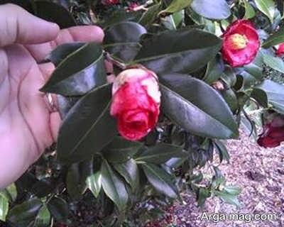 کاشت گیاه کاملیا
