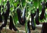 آموزش شیوه صحیح کاشت بادمجان در کلدان و باغچه