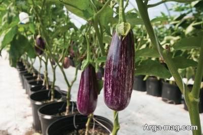آموزش کاشت بادمجان در باغچه و گلدان و پرورش اصولی آن