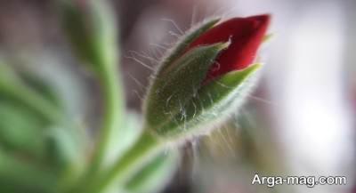 غنچه گل شمعدانی