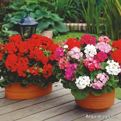 انواع مختلف گل شمعدانی