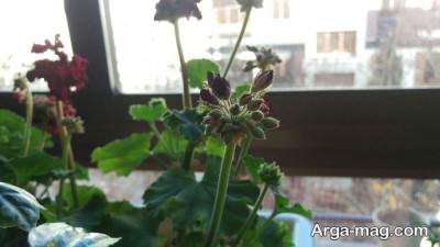 عوامل مختلف در نگهداری از گل شمعدانی