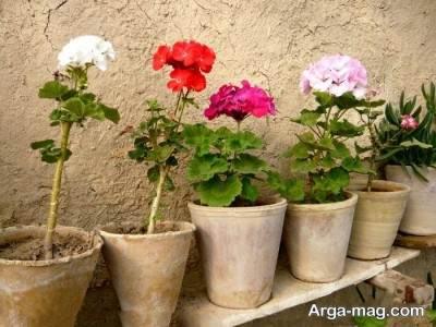 نگهداری از گل شمعدانی
