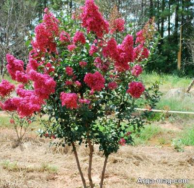 درختچه زیبای زینتی توری
