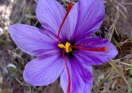 آشنایی با خواص گلبرگ زعفران