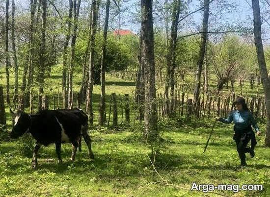 الناز شاکردوست در کنار یک گاو