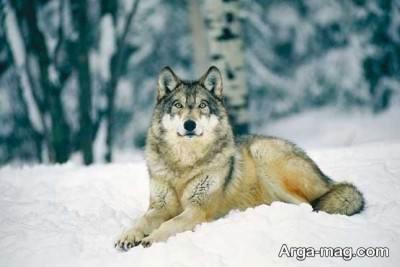 گرگ ها چه ویژگی دارند