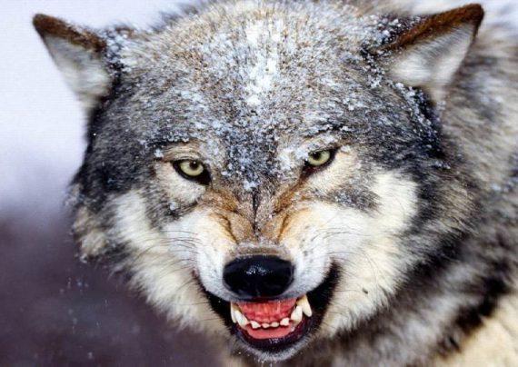 شناخت حیوان گرگ