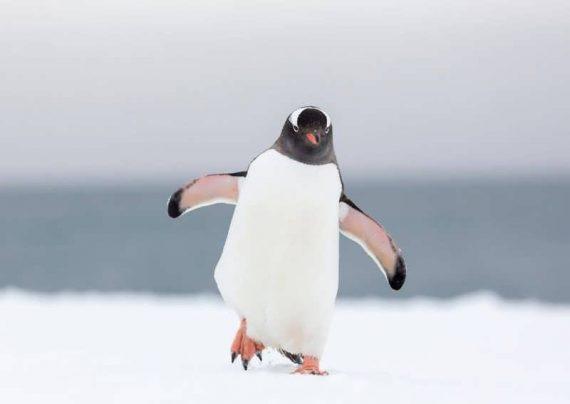 غذا دادن پنگوئن