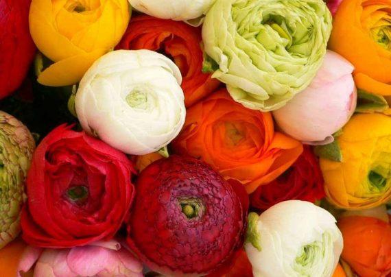 پرورش ، تکثیر، نگهداری گل آلاله