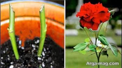 نحوه بریدن قلمه برای کاشت گل رز