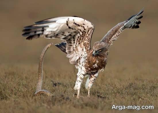 نبرد عقاب و مار