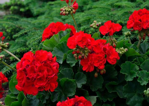 آموزش نحوه نگهداری از گل شمعدانی