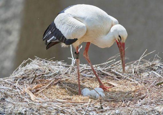 پرنده لک لک در دنیا