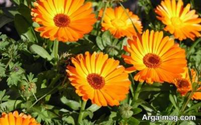 استفاده از گل همیشه بهار
