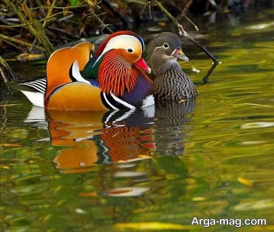 عکس قشنگ مرغابی