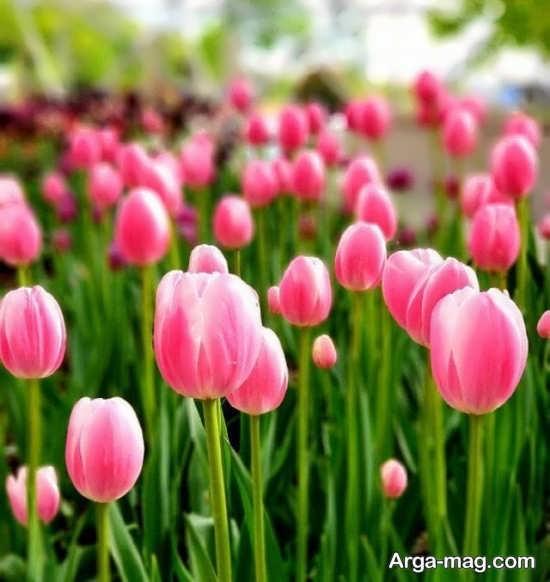 عکس زیبا از گل لاله