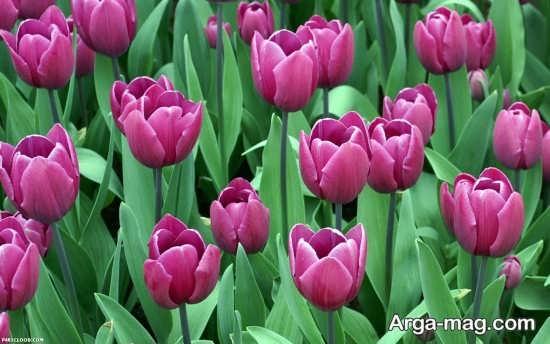 عکس جالب از گل لاله