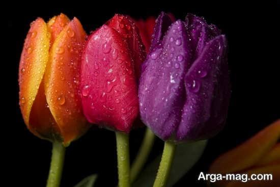عکس هنری از گل لاله