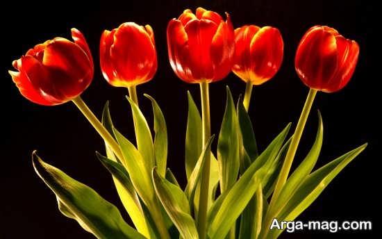 عکس فوق العاده زیبا از گل لاله