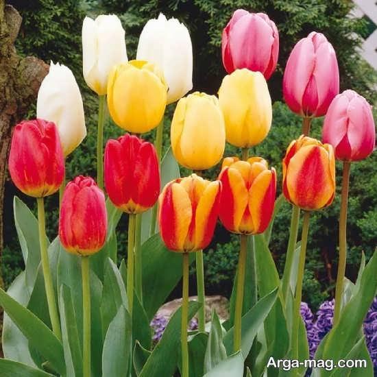 عکس های متنوع گل لاله